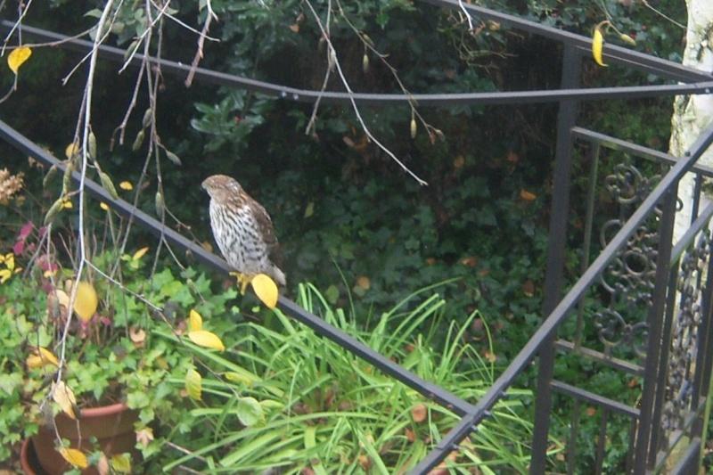 I noticed this Hawk a few minutes ago... 100_2819