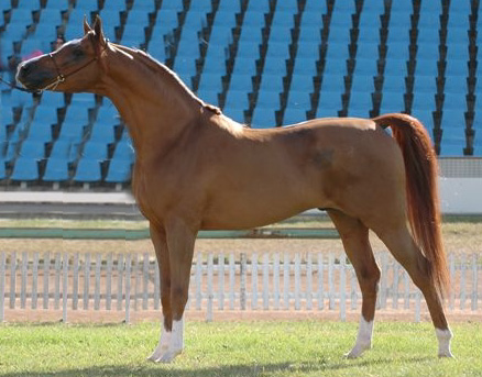 Arabian at stud 2009/2010 seaons New_im16