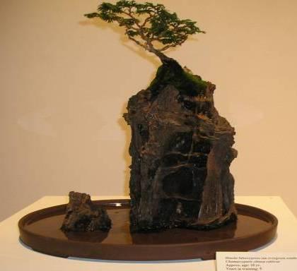 Root on Rock hinoki cypress....a few years Ror_hi10