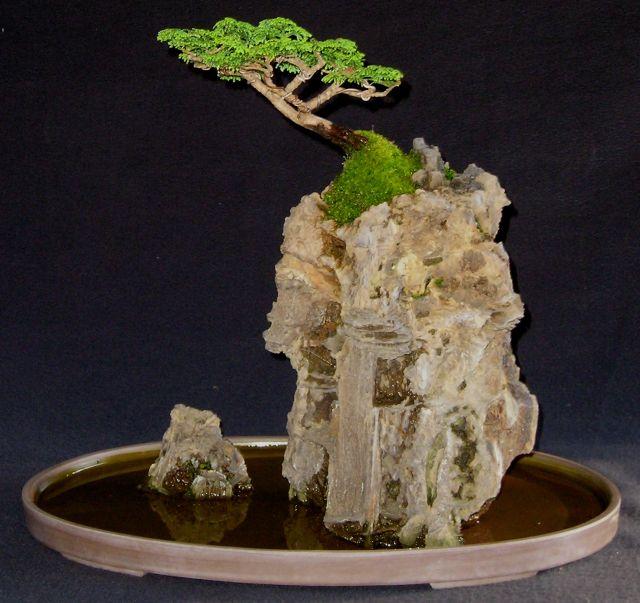 Root on Rock hinoki cypress....a few years Ror_hi11