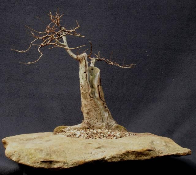 Carpinifolia elm U_carp10