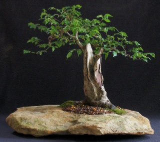 Carpinifolia elm U_carp12