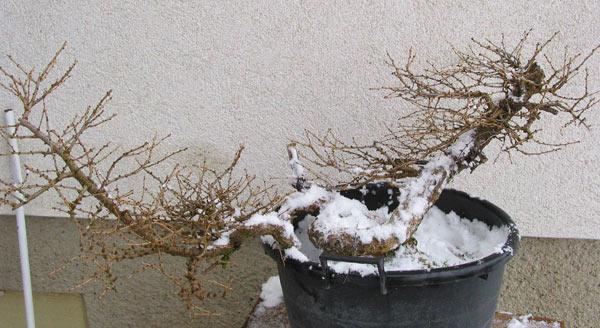 new pot for Larix cobra Larix_49