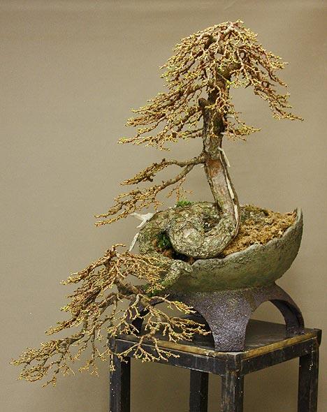 new pot for Larix cobra Larix_50