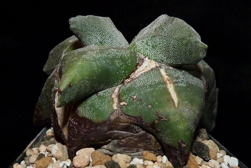 Astrophytum Cultivars  P1000110
