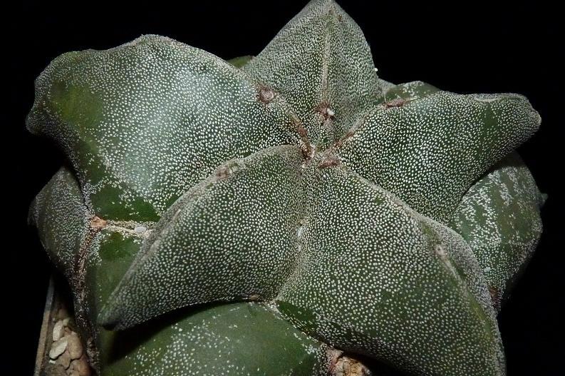 Astrophytum Cultivars  P1000111