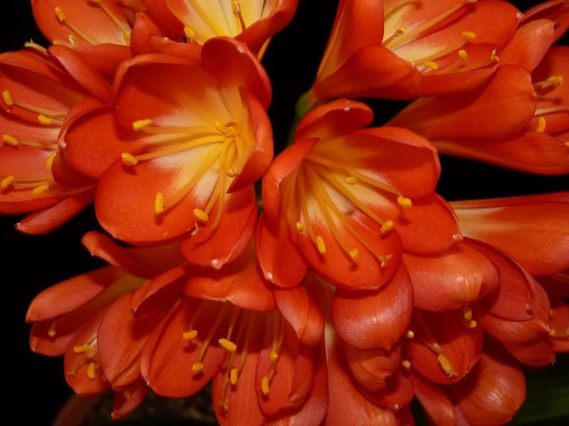 Amaryllisgewächse - Amaryllidaceae (Hippeastren, Nerine, Amaryllis, Agapanthus und auch Allium & Narzissen) P1020621