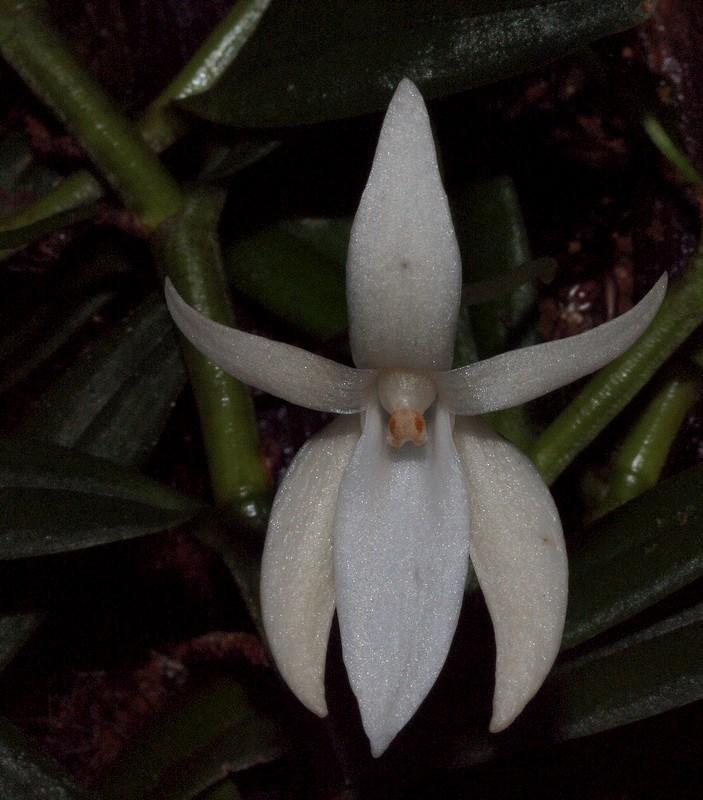 Angraecum ramosum P3135012