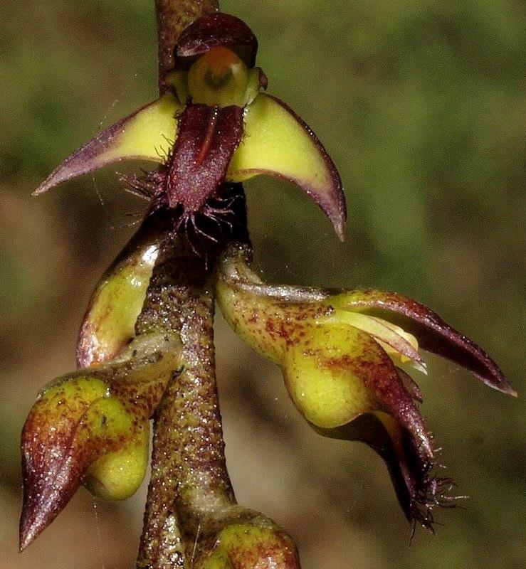 orchidee a moustache P5096211