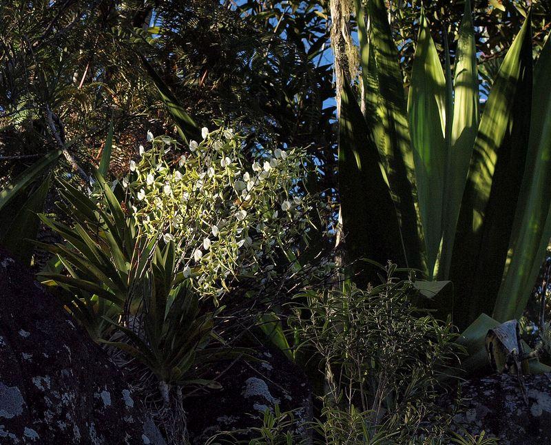 Angraecum eburneum P6208620