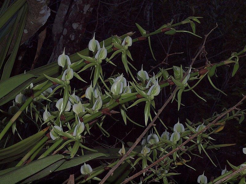 Angraecum eburneum P6208622