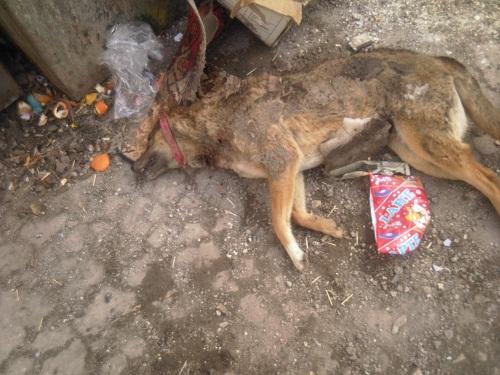 Были отравлены две собаки Иры Марку. Photo-12