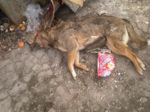Были отравлены две собаки Иры Марку. Photo-13