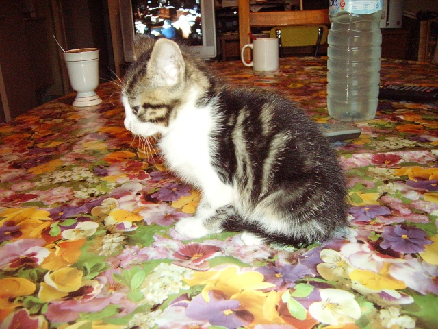 Petit chat trouvé Pict5010