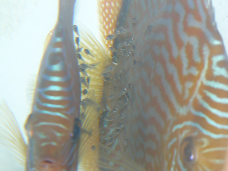 repro discus turquoises P1030112