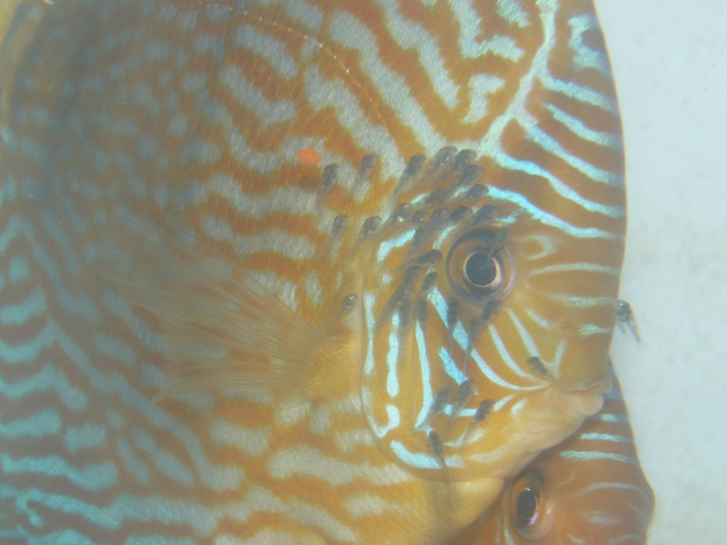 repro discus turquoises P1030114