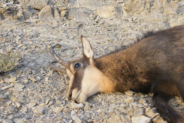 Mes sorties, Pirsch Affût  -  Saison de chasse 2010/2011 - Page 4 Dscf0910
