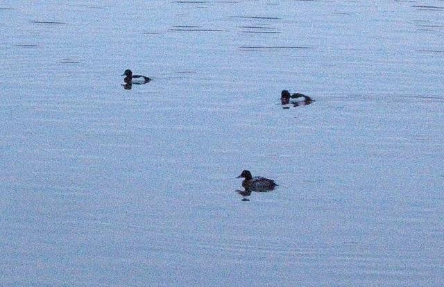 FULIGULE MILOUINAN mâle 1 er hiver en ce moment sur la canal d'Anderlecht Miloui10