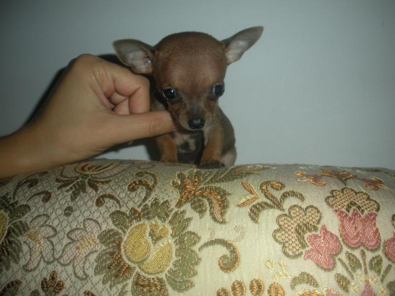 ecco la mia piccola sheila...la mia chihuahua Dscn1010