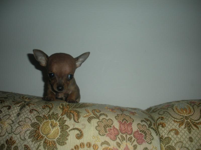 ecco la mia piccola sheila...la mia chihuahua Dscn1011
