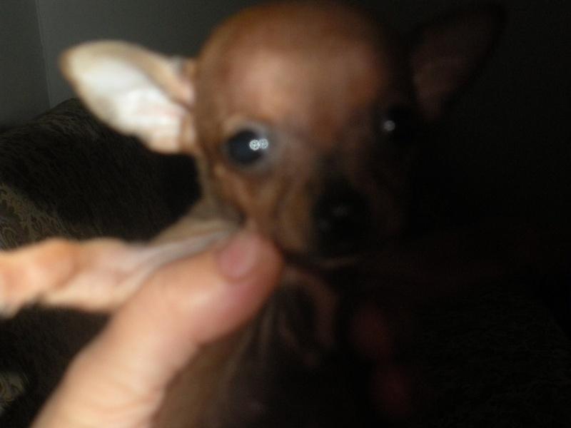 ecco la mia piccola sheila...la mia chihuahua Dscn1014