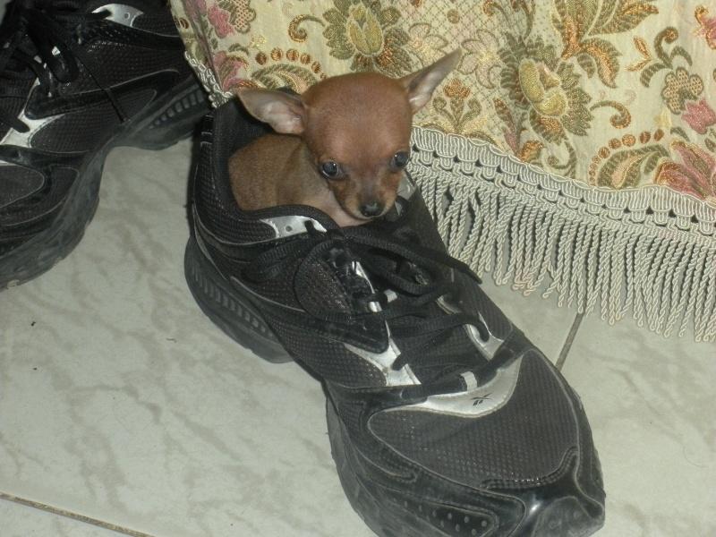 ecco la mia piccola sheila...la mia chihuahua Dscn1015