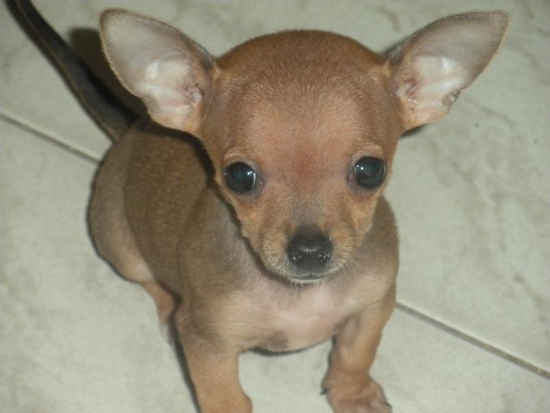 ecco la mia piccola sheila...la mia chihuahua Dscn1016