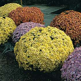 des chrysanthemes 749710