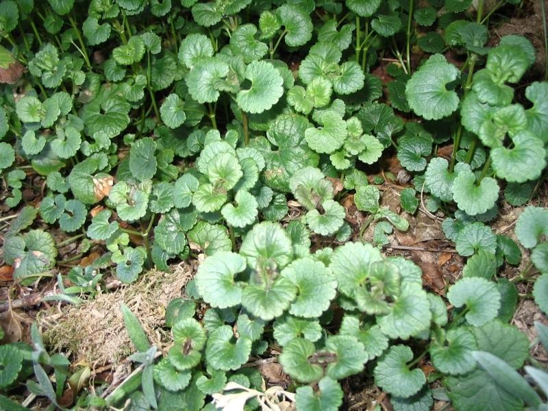 Lamier pourpre / Lamium purpureum Ebay_010