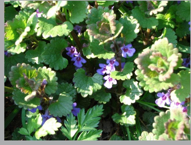 Lamier pourpre / Lamium purpureum Image111