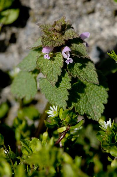 Lamier pourpre / Lamium purpureum Lamier12