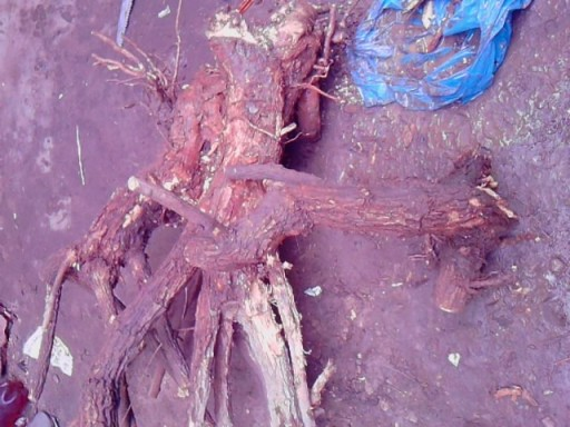 Bougainville multi tronc Boug10