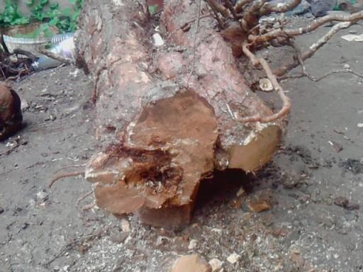 Bougainville multi tronc Boug210