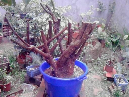Bougainville multi tronc Boug410