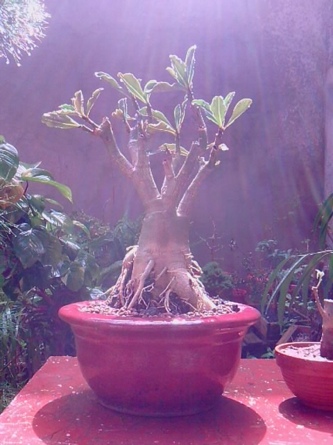 Baobab du Senegal P0204114