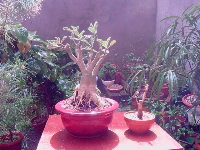 Baobab du Senegal P0204115