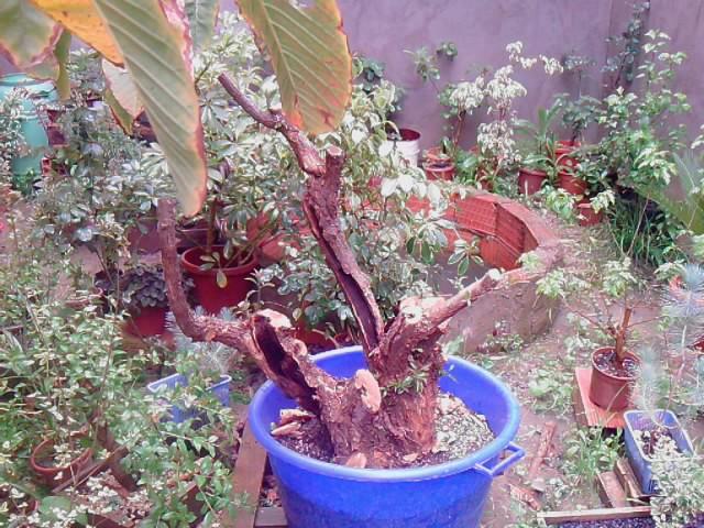 Bougainville multi tronc P0504111