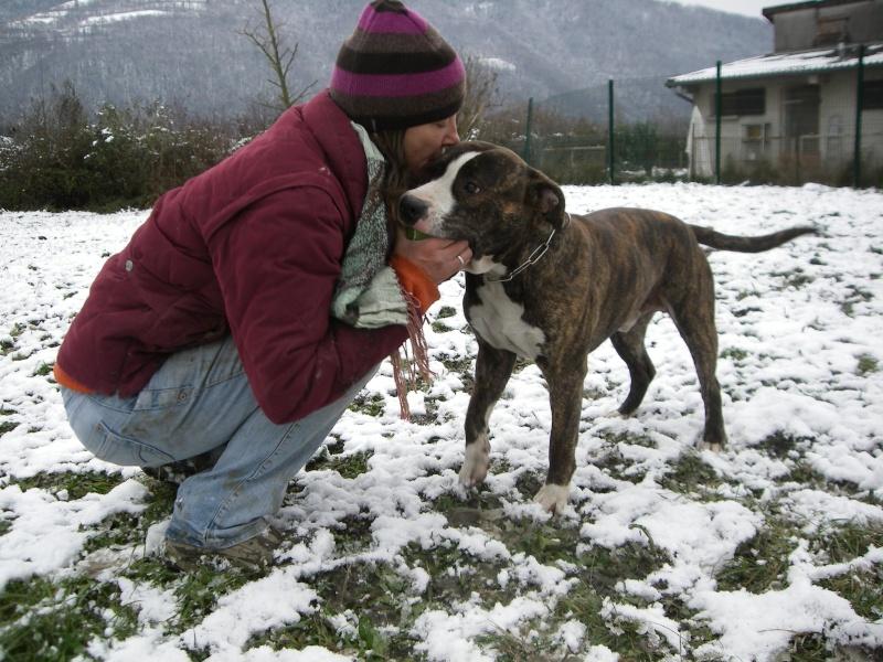 ECHO, American staffordshire terrier de 1,5 ans, LOF - (38) Echo_110