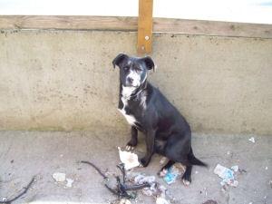 SOS Emeraude Labrador X Boxer 9 mois FA ou ADOPTANTS (49) Emerau10