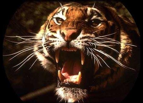 Le Tigre (hommage à William Blake) Tigre10