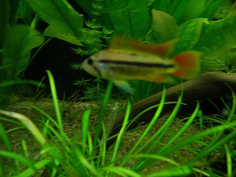Quelques photos de mon aquarium Dscn4610