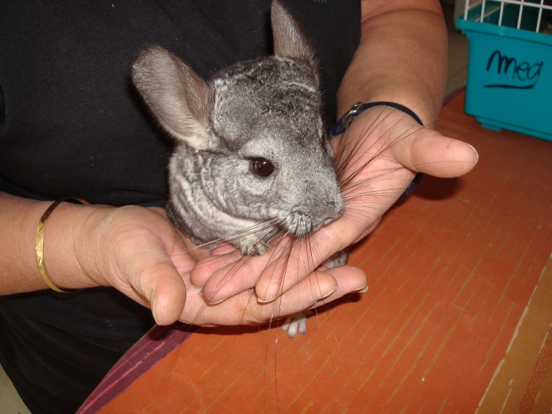 Belle et Clochard et leur fille Fleur ! Chinchillas standards ( Adoptes  !  ) - Page 2 Dsc07012