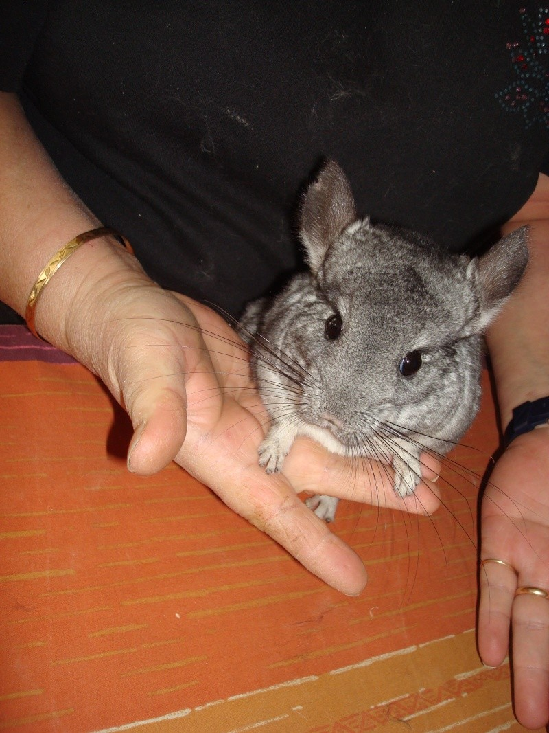 Belle et Clochard et leur fille Fleur ! Chinchillas standards ( Adoptes  !  ) - Page 2 Dsc07013