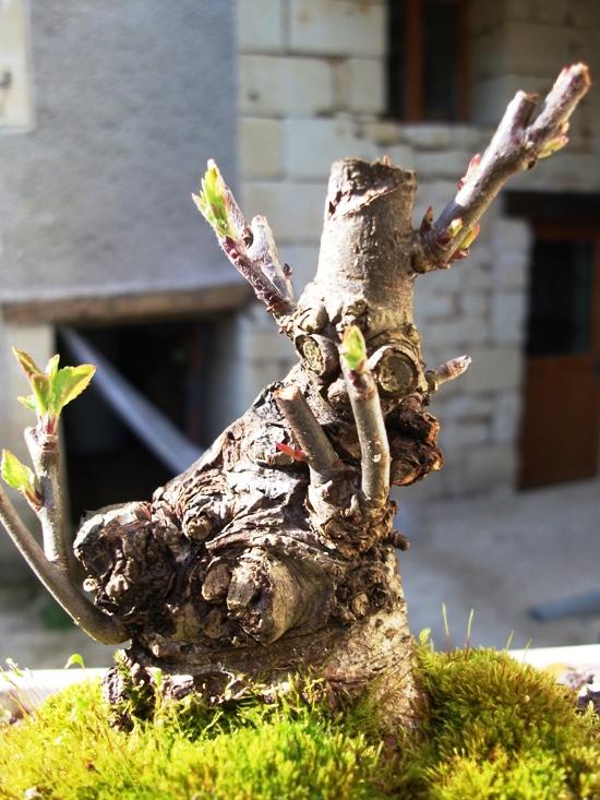apple tree mame/shohin Amalus10