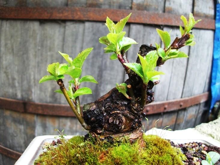 apple tree mame/shohin Amalus11