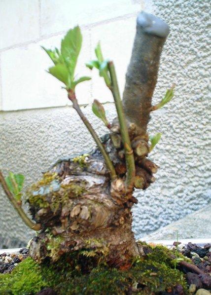 apple tree mame/shohin Apomam10