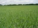 Etat des blés durs Bla_du10