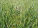 Etat des blés durs Bla_du11
