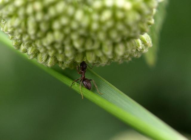 la fourmi la plus forte au monde.... P6087112