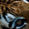 Nuage de Lion VS Petite Fleur Ico210